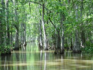Photo of a swamp in Houma, which can be toured according to Joieful in New Orleans, LA