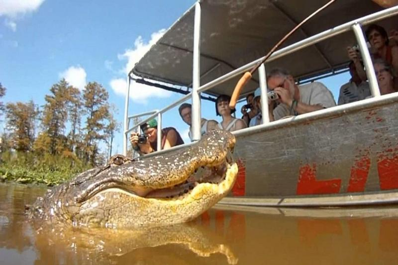 Alligator approaching swamp tour boat outside of New Orleans, LA